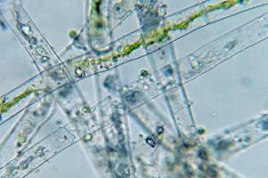 Cladophora Alge nach 8 Wochen