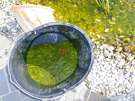 Gruenalgen im Teich geben ein unschönes Bild