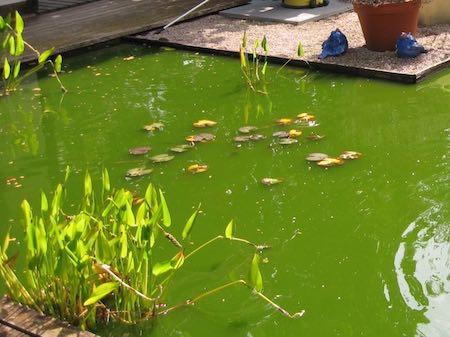 Trübes, grünes Teichwasser ist ein Indiz für Schwebealgen, welche sich rasch im Teich ausbreiten bei viel Sonne und Wärme.